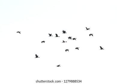 Dendrocygna javanica flying on sky