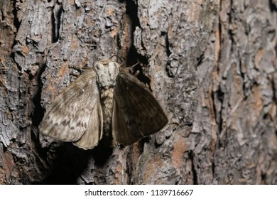 Dendrolimus superans (Siberian silkworm, Siberian moth) on the pine trunk