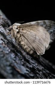 Dendrolimus superans (Siberian silkworm, Siberian moth) on the pine trunk