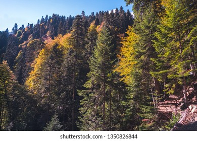 Dense autumn mountain forest with green and yellow trees lit by the sun