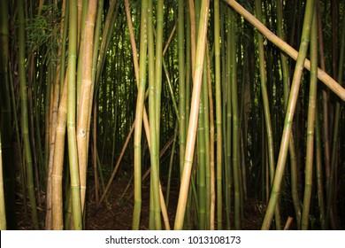 dense bamboo forest near Manoa Falls on Oahu, Hawaii