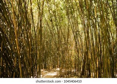 A dense bamboo grove