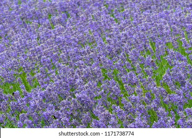 dense blue lavender flowers with flying bumblebees