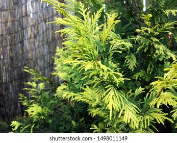 Dense branches of green coniferous fir. Evergreen coniferous plant with scale-like leaves. Coniferous tree. Cypress family. Juniper bush in the park. Green bush of juniper on a brick wall background