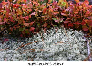 The dense bush of forest bilberry is decorated by leaves of different tones of red color. Near bilberry the silvery lichen grows.