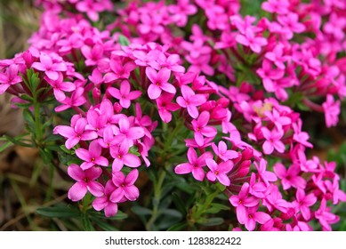 Dense cluster of bright pink flowers of evergreen shrub of poisonous wild rose daphne, Daphne cneorum, blooming on a spring day