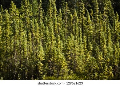 Dense Collection of Evergreen Trees Background