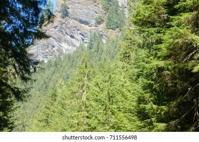 Dense, conifer forest and rocky outcrop  in Mount Rainier National Park
