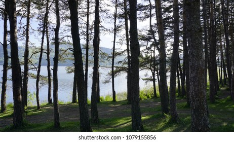 A dense coniferous beside Abant Lake, Turkey. Forest with a beautiful thin trunks of pine trees in sunny day. Lots of trees in the forest or jungle.