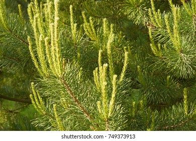 Dense coniferous forest. Closeup of lush pine branches with buds.