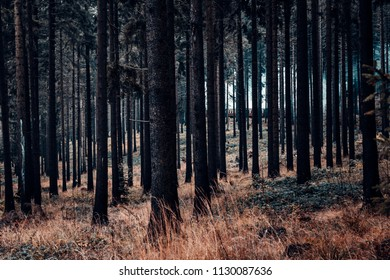 Dense, dark, cloudy autumn coniferous forest