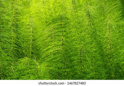 Dense equisetum, the field horsetail, often called mare's tail - an invasive, deep-rooted perennial weed - here in sunshine