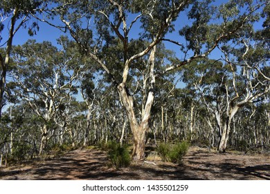 Dense Eucalyptus Forest at Belair-Nationalpark, Adelaide, South Australia, Australia