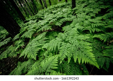 Dense fern thickets close-up. Beautiful nature background with many ferns. Scenic backdrop of rich greenery among trees. Full frame of chaotic wild ferns. Vivid green texture of lush fern leaves.