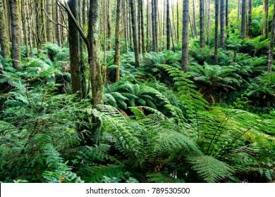 Dense foliage in a subtropical rainforest in the Otways, Great Ocean Road, Victoria, Australia.