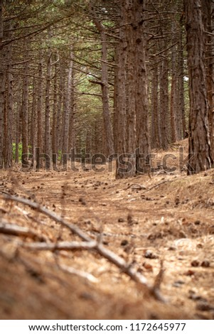 Dense forest with corsican pine trees in a dune area. National protected nature reserve with varied landscape