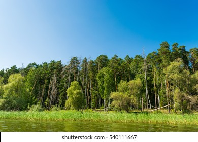 The dense forest on the banks of the Volga river