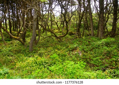 Dense forest and salal undergrowth near Ona beach, Newport, Oregon