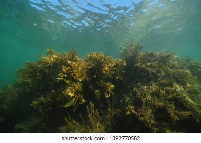 Dense forest of seaweeds and brown kelp Ecklonia radiata in shallow water near surface.