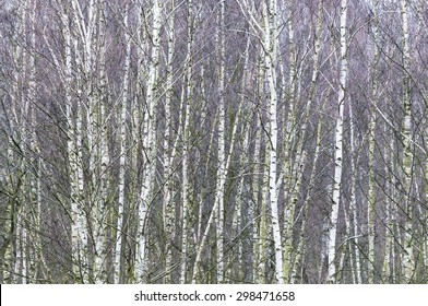 Dense forest of young leafless birch trees