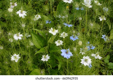 Dense mix of white and blue nigella flowers with frondy foliage fills a garden flower bed - also known as love-in-a-mist or devil in a bush
