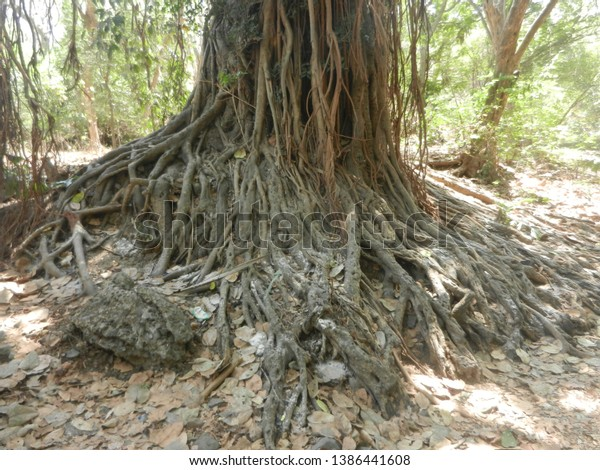 dense-old-banyan-tree-forest-600w-138644