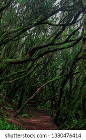 Dense old tropical forest in Anaga Mountains (Parque Rural de Anaga), Tenerife, Canary Islands, Spain