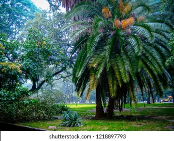 Dense palm in Ibirapuera Park among other trees, in rainy afternoon