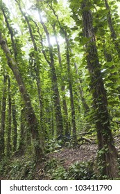 Dense rain forest with tall trees covered with other plants