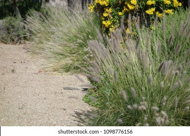 Dense and robust clumping Fountain grass growing in Arizona residential suburban roadside