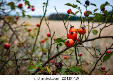 Dense rosehip bush with many tender ripe vivid red berries on blurred bokeh background