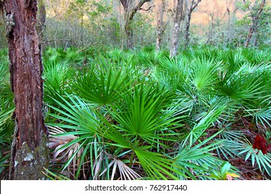 Dense Saw Palmetto growing throughout the landscape of central Florida