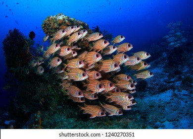 Dense school of Squirrel Fish in clear blue water scuba diving in the tropical paradise of Raja Ampat - Indonesia