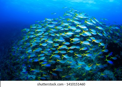 A dense shoal of schooling yellow blue fusilier fish over the heathy tropical coral reef. Scuba diving, Raja Ampat, Indonesia