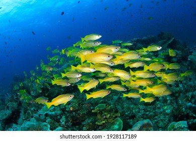 A dense shoal of schooling yellow snapper fish on a coral reef in clear water. Underwater image taken scuba diving in Indonesia