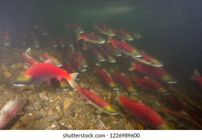Dense shoal of sockeye salmon in deeper river back-eddy waiting for final migration to their spawning grounds./ (Adams River, BC)