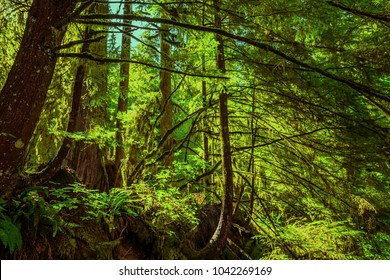 A dense subtropical forest with tall, green moss-covered trees and fern bushes on a summer sunny day.