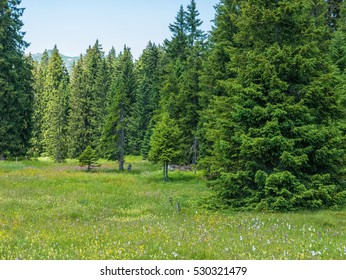 Dense trees standing in a forest in the Swiss mountains