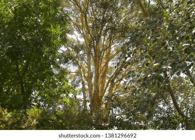 Dense treetops of forest in southeastern Australia in bright back light.