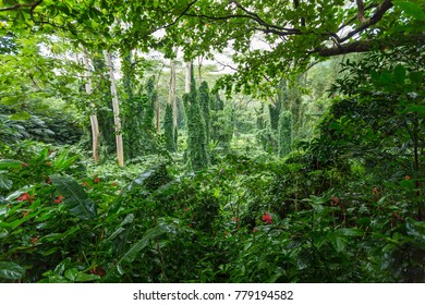 Dense verdant green tropical rainforest vegetation along the Manoa Falls Trail in the Manoa Valley, Oahu, Hawaii, USA