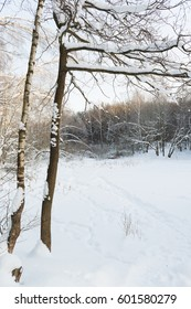 A dense winter forest in the snow. Russia. South Butovo