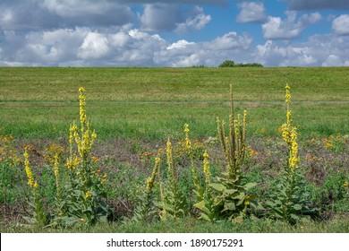 Denseblume mullein (Verbascum densiflorum) in Rheinland, Deutschland