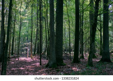 Densy deciduous forest in summer midday with lot of old trees, Bialowieza Forest, Poland, Europe