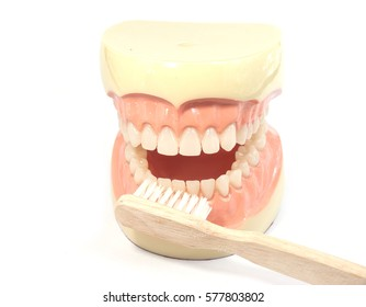 Dental concept. tooth model and toothbrush Teach you how to brush your tooth white background.