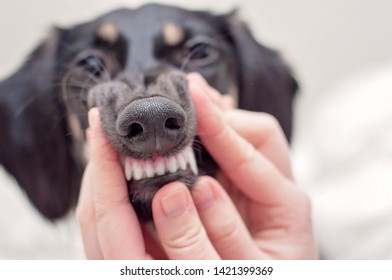 A dental health check and clean teeth of a dog, holding a mouth of a little black saluki puppy