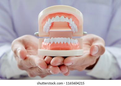 dentist holding teeth model in dental clinic