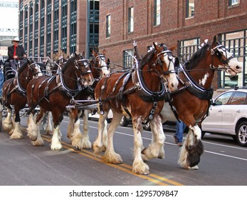 Denver, Colorado - January 10, 2019: Clydesdale horses trotting during the annual Western Stock Show Parade