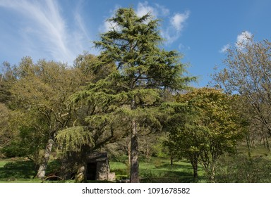 Deodar Cedar Images Stock Photos Vectors Shutterstock
