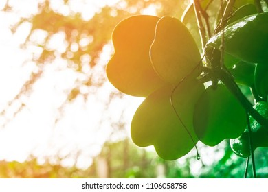 Dependency of Sweetheart Hoya and tree with sunshine in the morning, in the garden, soft and blured style
