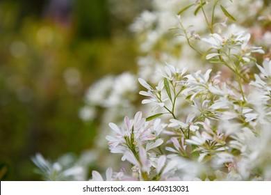 Depositphotos White Christmas Tree Euphorbia Leucocephala Plants in the Garden